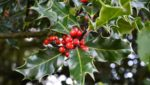 holly branch red berries