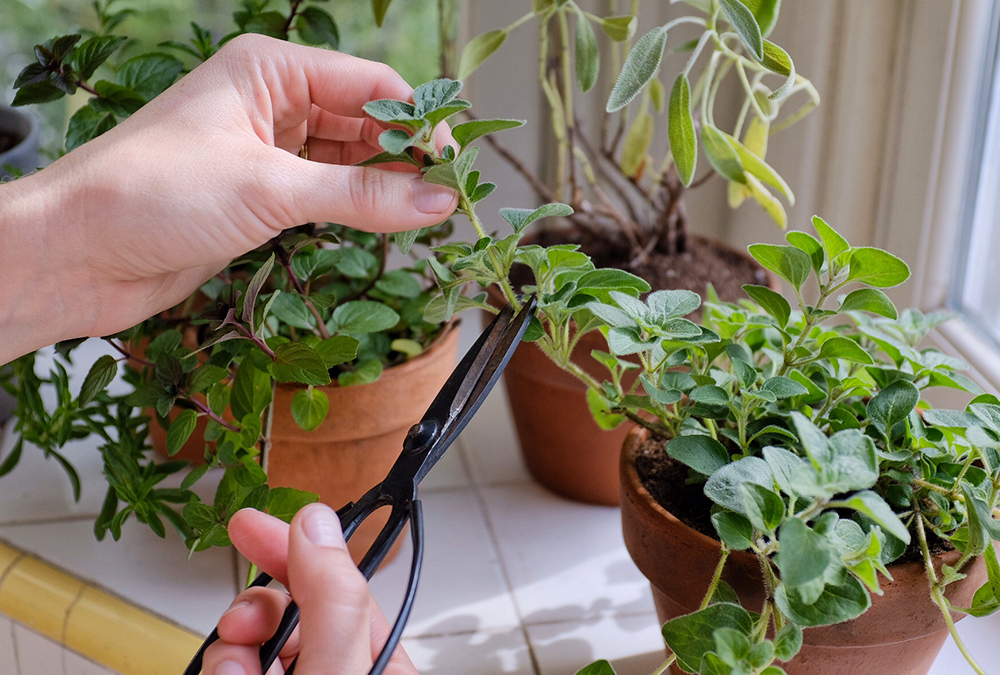 cutting and harvesting herbs